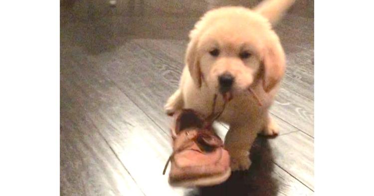 飼い主さんのスニーカーを盗んだ、子犬ちゃん。一生懸命な「犯行現場」に…キュン(〃∇〃) 16秒