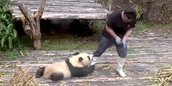 片時も離れたくない「甘えんぼうパンダ」が、飼育員さんの仕事を妨害していく…(`;ω;´)