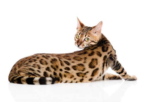 ベンガルってどんな猫? 歴史やカラダの特徴について