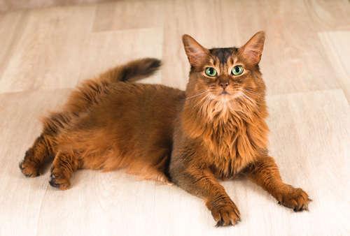 ソマリってどんな猫? 歴史やカラダの特徴について
