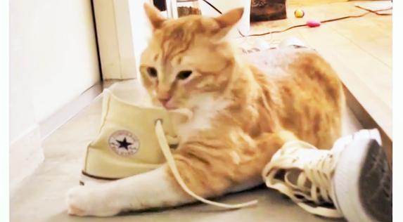 【スニーカーを抱きしめて♡ 】靴から飼い主さんの匂いがすると気が付いた猫。次の瞬間…頭をつっこむ!