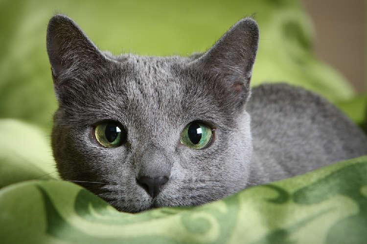 ロシアンブルーってどんな猫? 歴史やカラダの特徴について