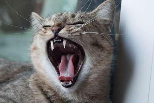 猫の歯磨き、しないとどうなる?  歯磨きの頻度とやり方