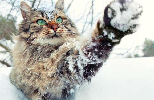 サイベリアンってどんな猫? 歴史やカラダの特徴について