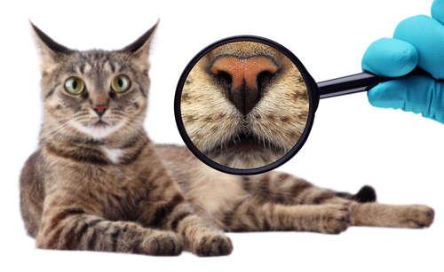 【獣医師監修】こんな時は病気のサイン? 猫の鼻の状態とサインについて