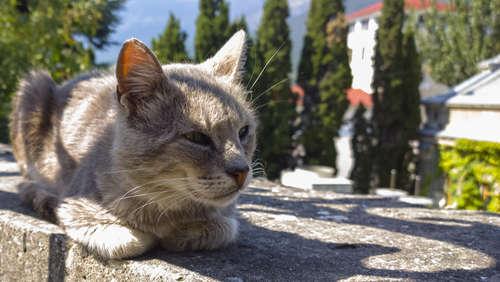 猫の耳掃除って必要?  耳掃除の頻度とやり方