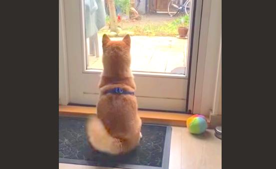 """【この数秒後……】お兄ちゃんを見つけた柴犬くん、嬉しすぎて """"おかえりダンス"""" を踊りだす♡"""