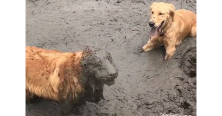 泥遊びを思いっきり楽しむゴールデン♪ その『はしゃぎっぷり』は、誰にも止められなかった( ゚Д゚)!