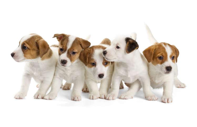 犬のブリーダーとは? ブリーダーから犬を迎えよう!