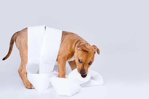 犬の血尿。血尿の原因や考えられる病気、治療法、予防法について