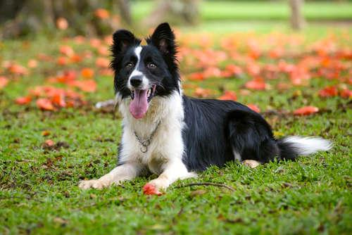 ボーダー・コリーってどんな犬? 歴史や体の特徴について
