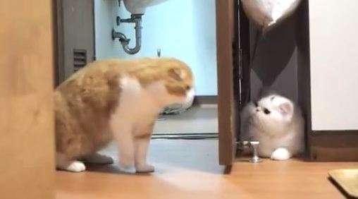 【待ち伏せニャ】トイレから出てくる猫を、扉の影に隠れて待つ猫 → 次の瞬間……(゚д゚)! 10秒