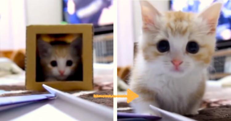 【ピョコピョコ仕草♪】箱の中を出たり入ったりする子猫ちゃん。勢いよく飛び出して…(*´艸`*)