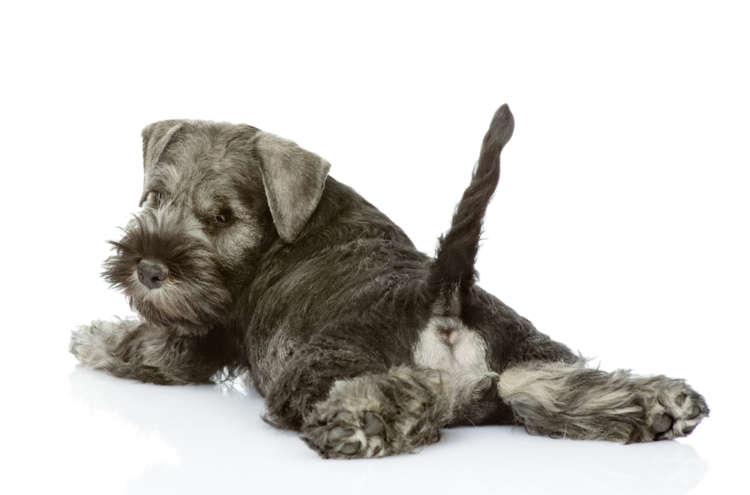 犬のしっぽの機能や、しっぽから読み取る犬の心理