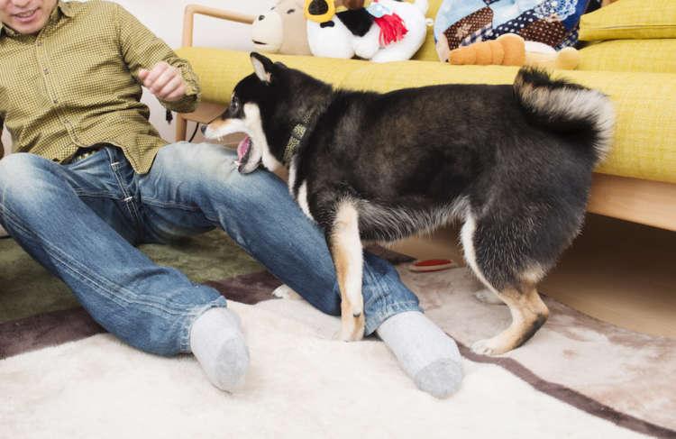 犬の牙でつくるダメージジーンズ いい値がつきそう