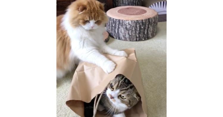 お兄ちゃんが入っている袋が羨ましい! 強行手段に出たニャンコを待ち受けていた、結末が…(`;ω;´)