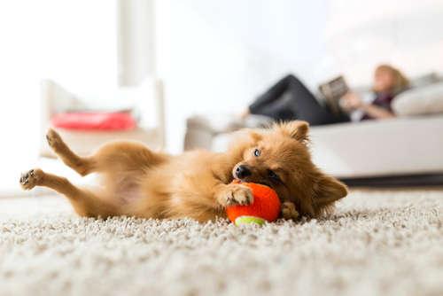 犬の椎間板ヘルニア! 考えられる原因や症状、治療法と予防法について