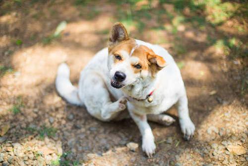 【獣医師監修】犬の皮膚病|考えられる原因や症状、治療法と予防法について