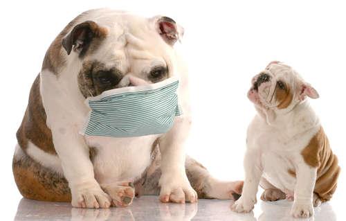 【獣医師監修】犬のくしゃみが止まらない? 原因や考えられる病気と対策について