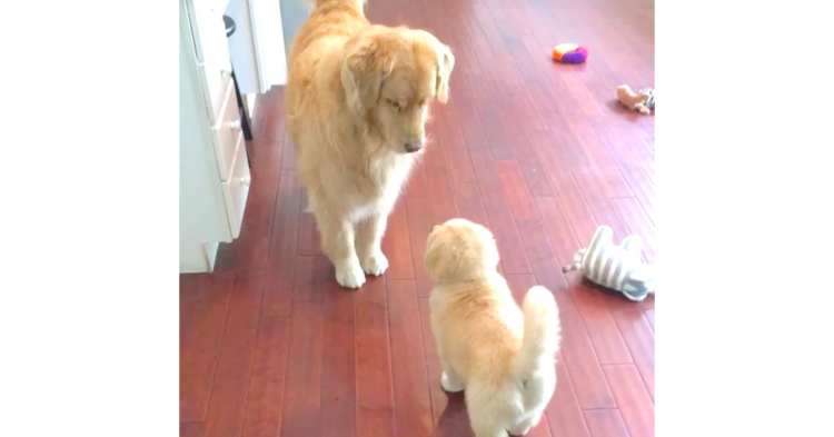 【犬界のマナー教室】子犬に『遊ぼうのポーズ』を教えてあげる先輩犬! 優しさにキュンとする♡