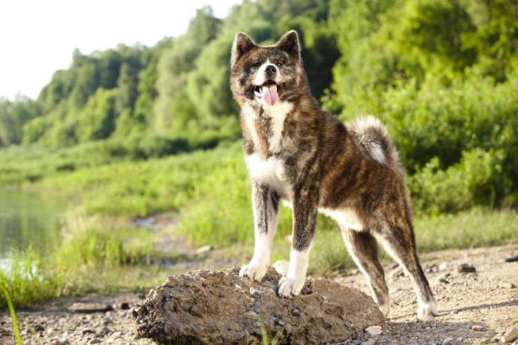 秋田犬ってどんな犬? 歴史やカラダの特徴について