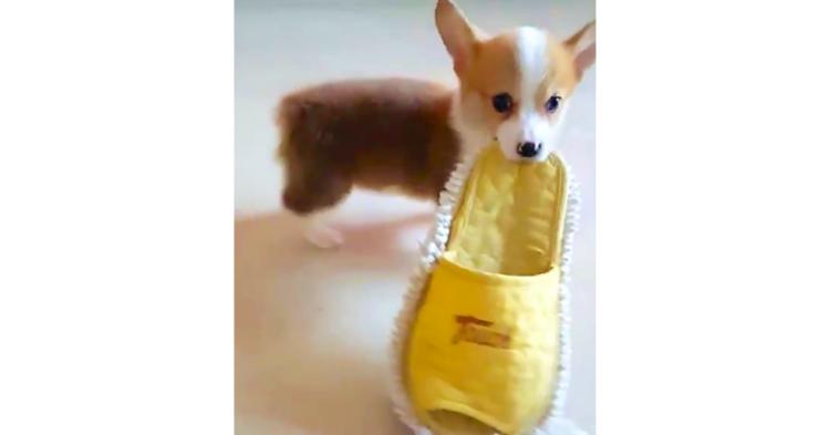 【お口に咥えてトコトコ~♪】大きなスリッパを一生懸命に運ぶ子コーギーが、可愛すぎる(o´ω`o)