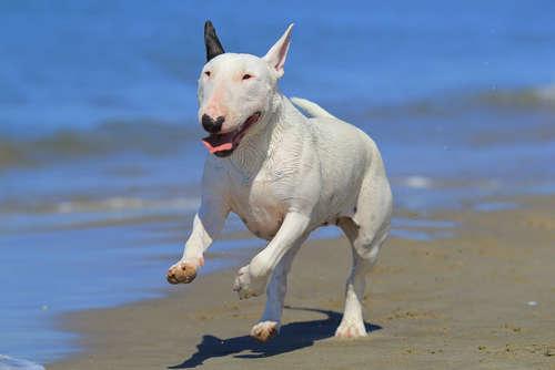 ブル・テリアってどんな犬? 歴史やカラダの特徴について