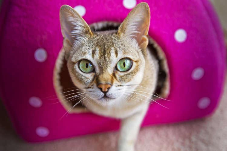 シンガプーラってどんな猫? 歴史やカラダの特徴について