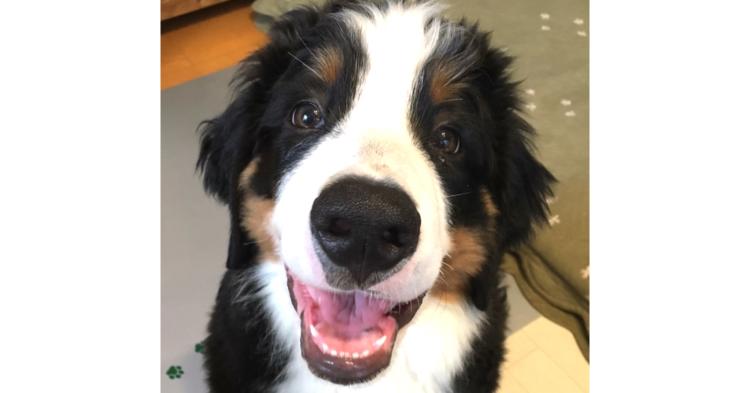 【キュンキュン注意♡】表情豊かなバーニーズの子犬! あどけない笑顔に、思わず抱きしめたくなる♡