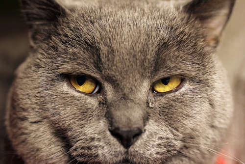猫が涙を流している! 泣く理由と、注意すべき「涙やけ」