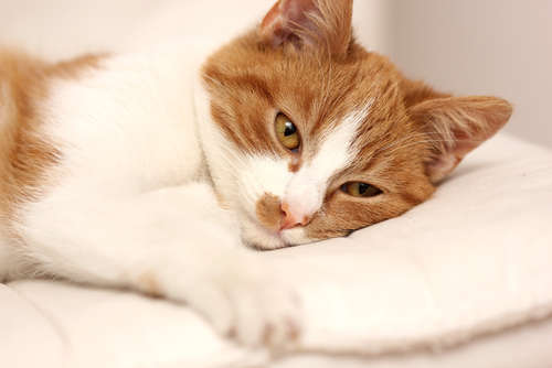 猫の血尿 血尿の原因や考えられる病気、治療法、予防法について