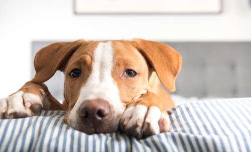 【獣医師監修】犬のリンパ腫 考えられる原因や症状、治療法と予防法