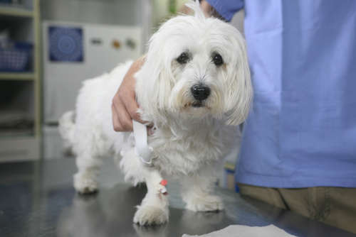 犬のフィラリア 考えられる原因や症状、治療法と予防法