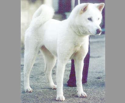 紀州犬ってどんな犬? 歴史やカラダの特徴について