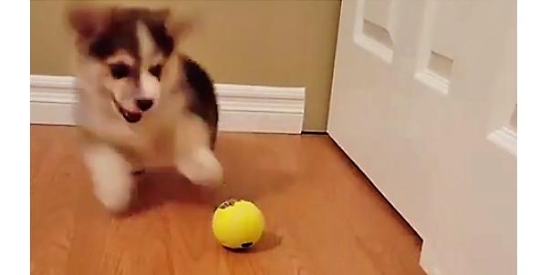 テニスボールと初めてご対面した子コーギーちゃん! おっかなビックリで、突撃する様子がカワいすぎた♡
