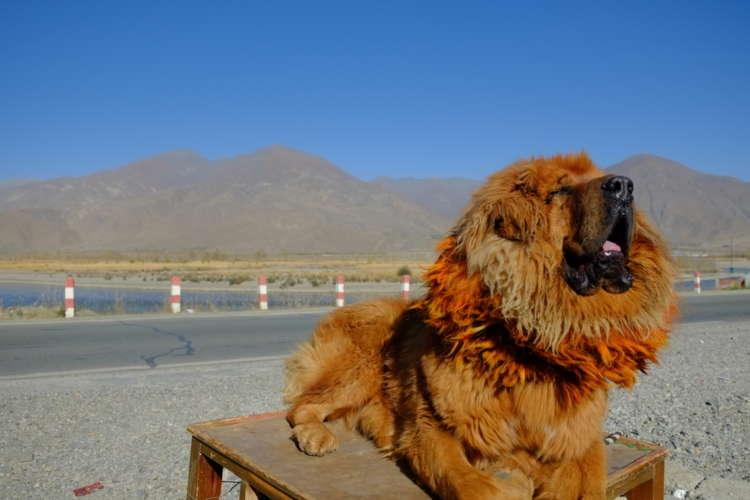 チベタン・マスティフってどんな犬? 歴史やカラダの特徴について