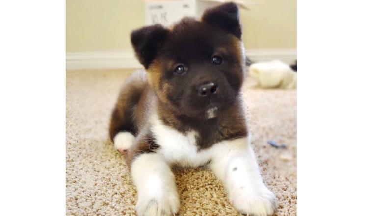 【むっちむち…♪】アメリカに住む、秋田犬の子犬! ボリューミーなかわいさに、キュンとする♡ 8枚