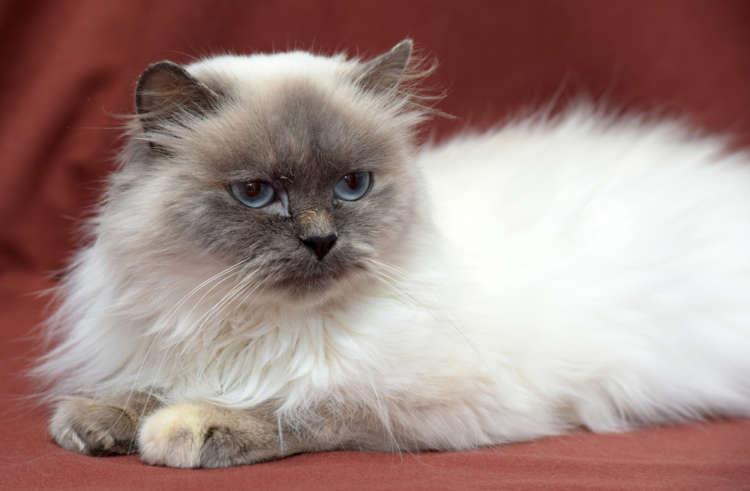 ヒマラヤンってどんな猫? 歴史やカラダの特徴について