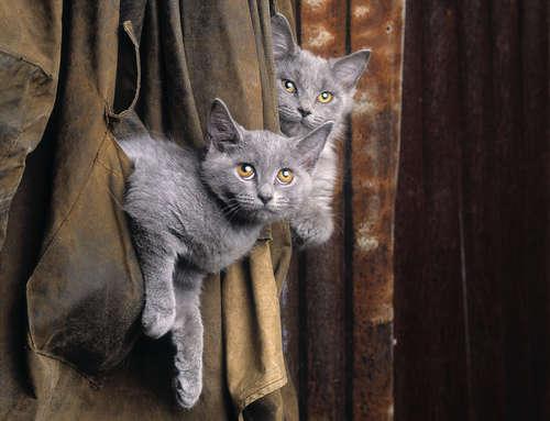 【獣医師監修】シャルトリューの特徴や性格、飼い方について