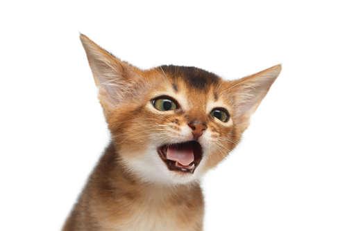 猫の咳。咳の原因や考えられる病気、治療法、予防法について