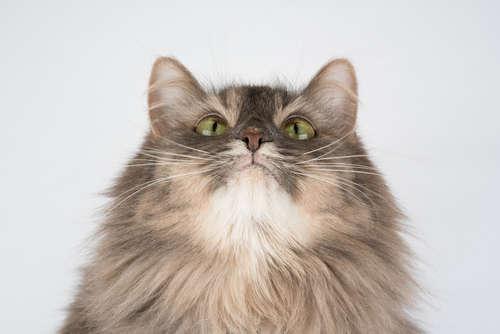 猫にニキビができている! 原因や考えられる病気、治療法、予防法について