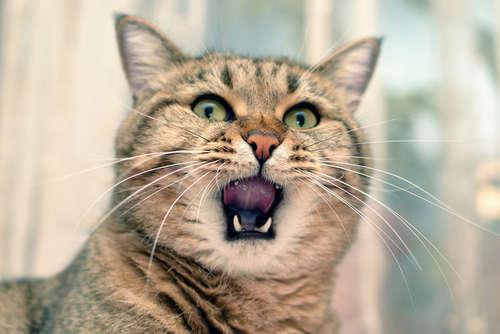 【獣医師監修】猫の口内炎 考えられる原因や症状、治療法と予防法