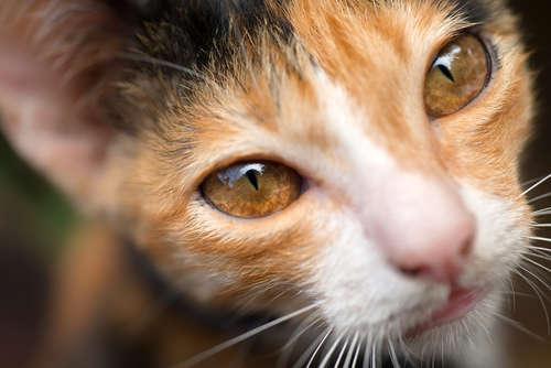 【獣医師監修】猫の結膜炎 考えられる原因や症状、治療法と予防法