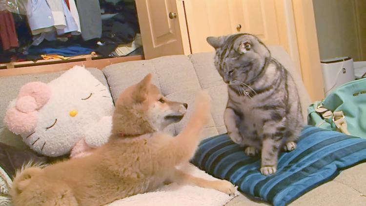 【遊ぼうワン】やんちゃな新入り子犬に圧倒される先輩ネコ♡ 2匹のやりとりが可愛かった(*´艸`*)