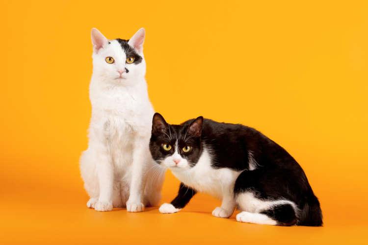 猫といえば日本猫! 日本人にはお馴染みの日本猫について