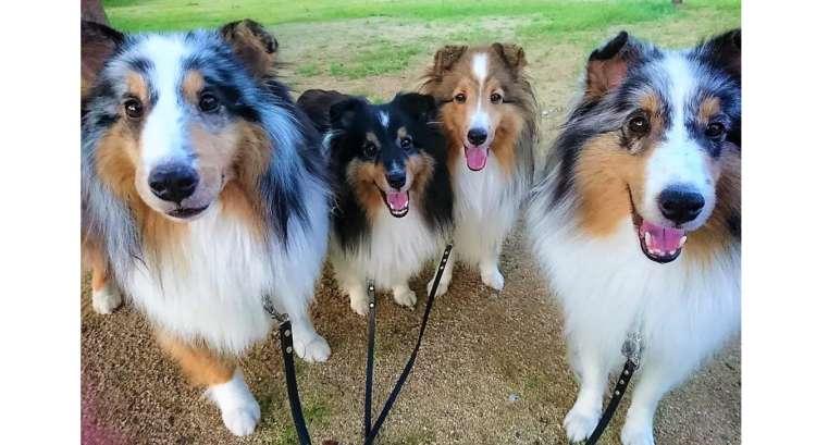 4匹のシェルティーたちは仲良し家族♡ 幸せそうな笑顔に、ほんわかする写真集(*´ω`) 13枚