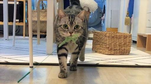 【断れないおねだり♡】猫じゃらしを咥えてトコトコやって来たニャンコさん。それには可愛い理由が…♪