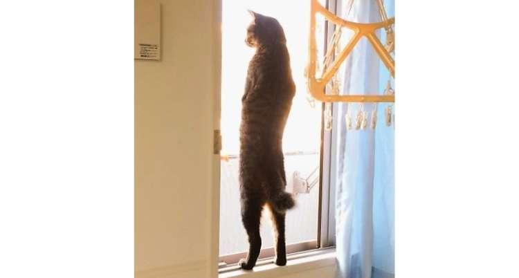 """【背筋ピーンッ】飼い主さんも困惑! ニャンコが見せた、""""姿勢の良さ"""" が話題に( ゚Д゚) 2枚"""