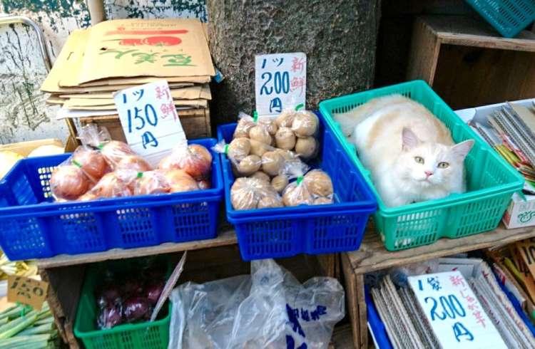 【いらっしゃい!】野菜と一緒に自らを陳列してしまう『青果店の看板猫』が可愛すぎると話題に…♡ 7枚