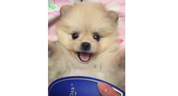 ブラッシング中に、ジッと見つめてくる子犬ちゃん! 可愛すぎる視線からもう目が離せないッ(*´ω`)♡